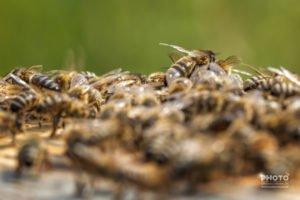 Wespen, Bienen, Hornissen