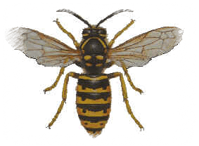 sächsische Wespe