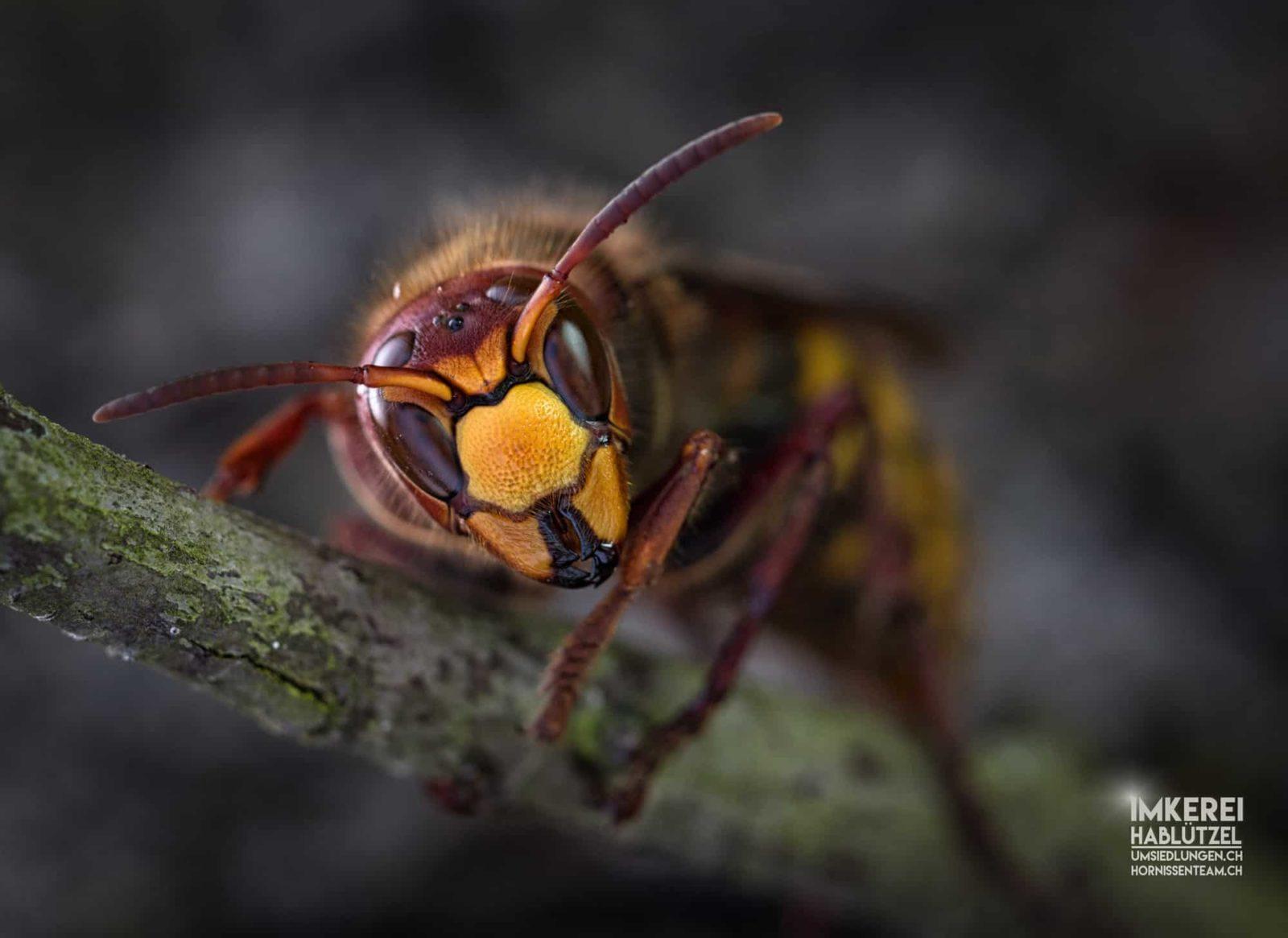 hornisse vespa crabro hornissen wespen und bienen schutz. Black Bedroom Furniture Sets. Home Design Ideas