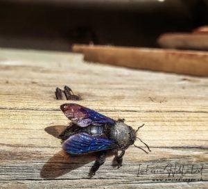 die blaue Holzbiene