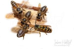 Honigbiene mit Wespe