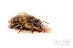 Honigbiene (Api)