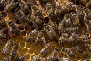 Bienen Königin