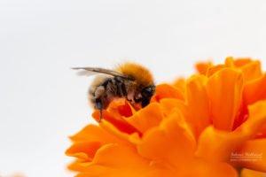 Wildbienen Galerie 2020