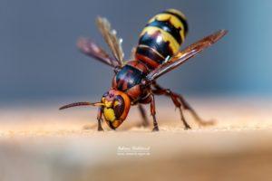 Hornissen Königin (Vespa crabro)