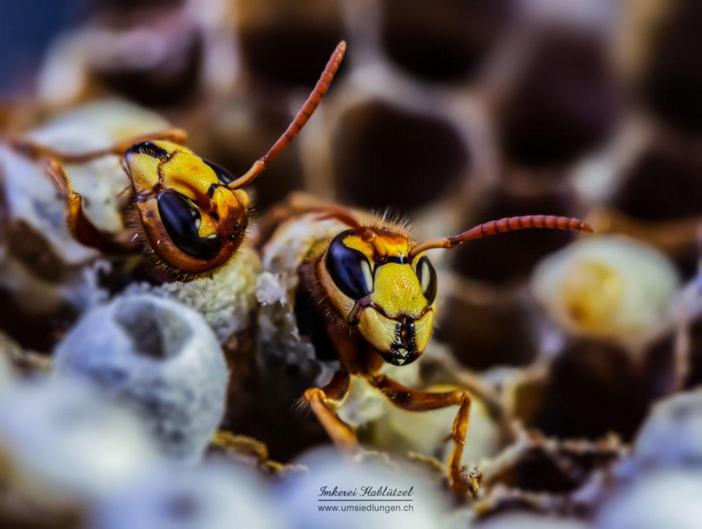 Hornissengeburt (Vespa crabro)