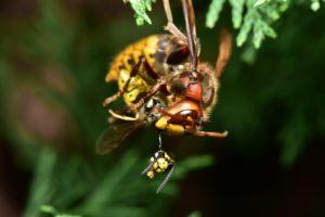 hornissen- und wespen