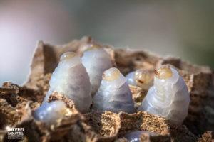 Hornisse (Vespa crabro)
