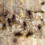 Hornissen Königinnen