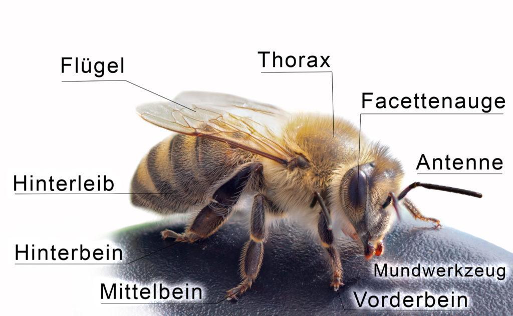 Anatomie der Honigbiene