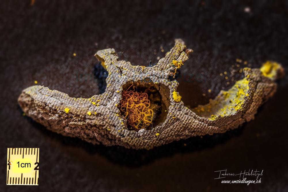 Wildbienen und ihr Nachwuchs