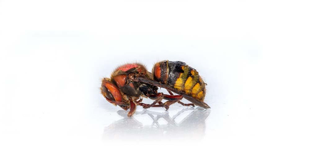 Hornissen Wespen und Bienen Schutz