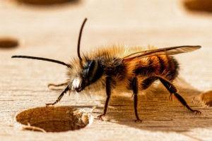 Wildbienen, gehörnte Mauerbiene, Bestäubung