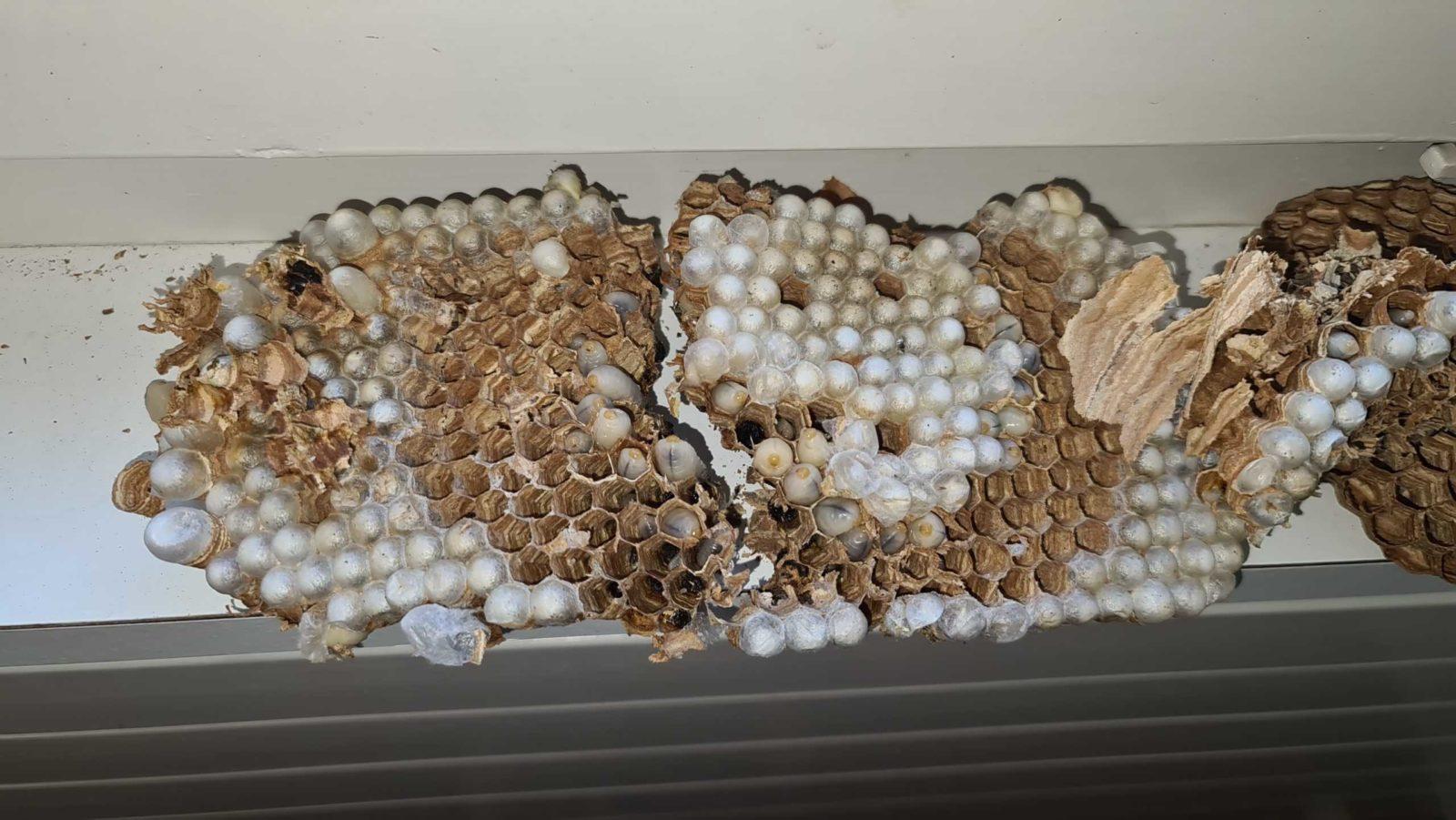 Hornissen Nest