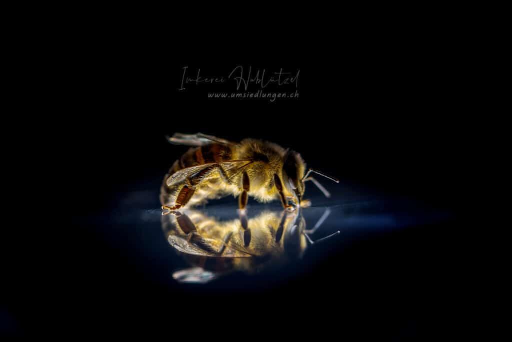 Honigbiene Biene bee