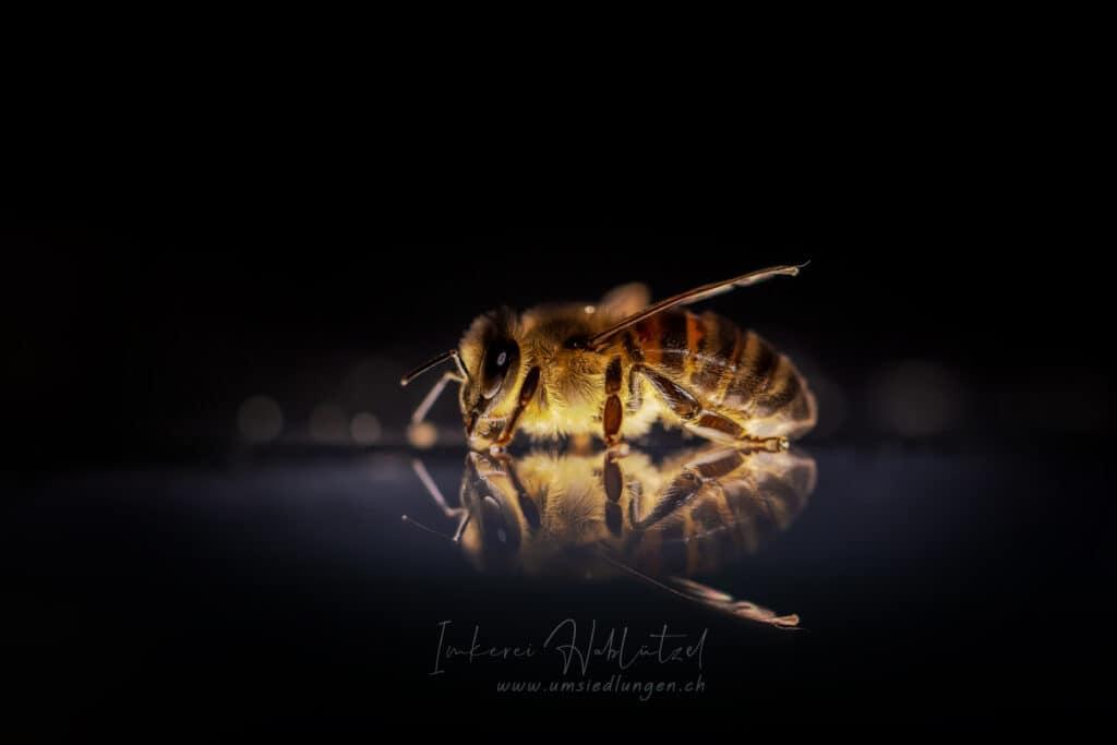 Honigbienen Bilder