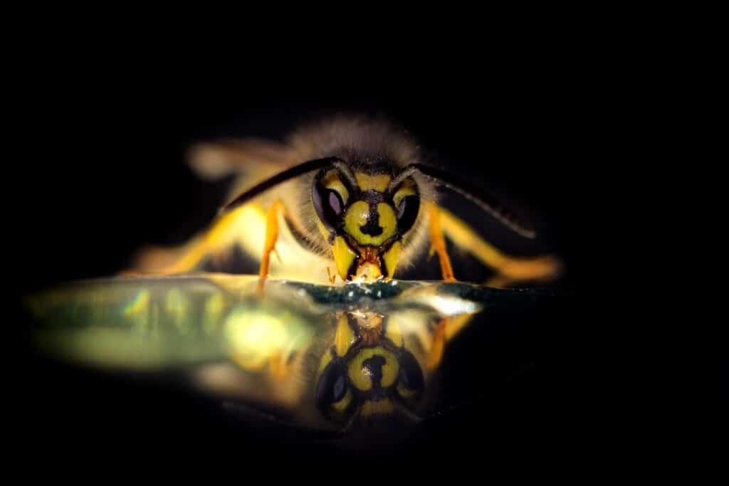 gemeine Wespe (Vespula vulgaris)