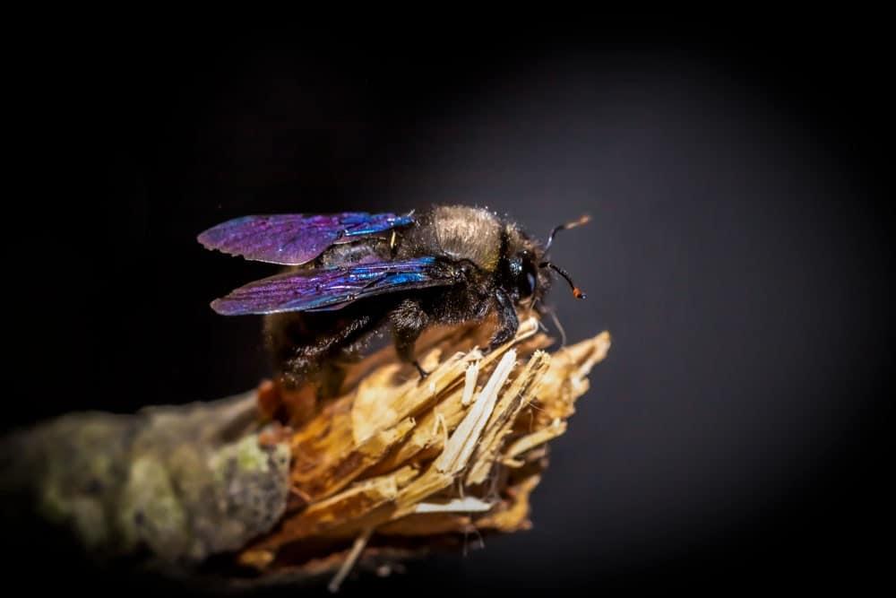 Blaue Holzbiene (Xylocopa violacea)