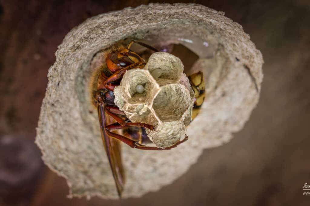 Hornissen (Vespa crabro)