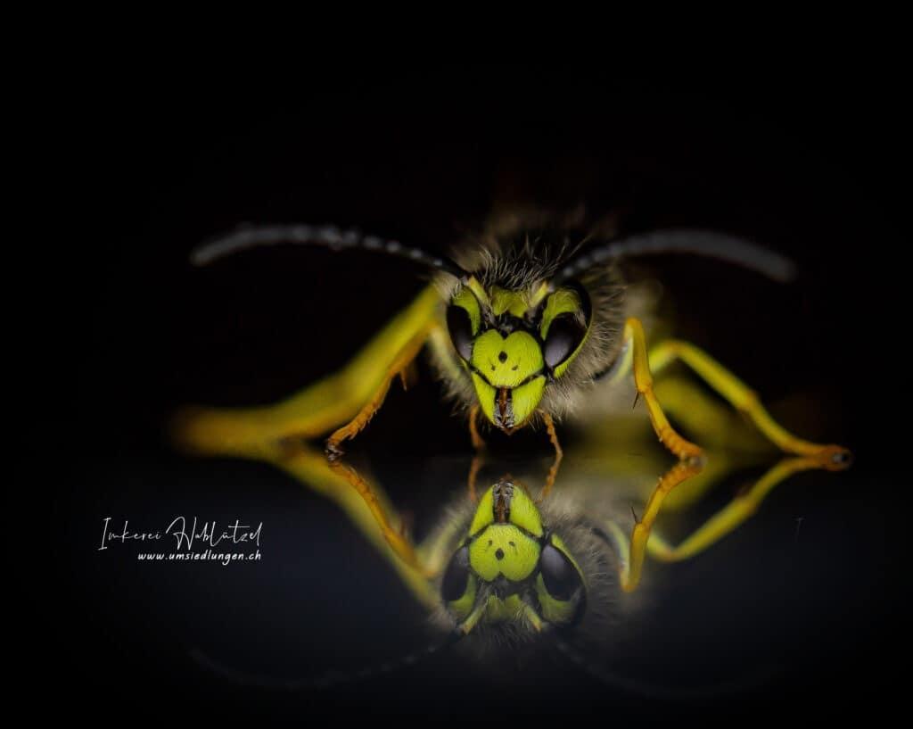 deutsche Wespe (Vespula germanica)