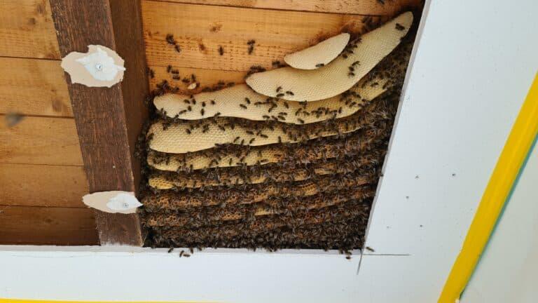 Einsatz Honigbienen Bergung April 2021