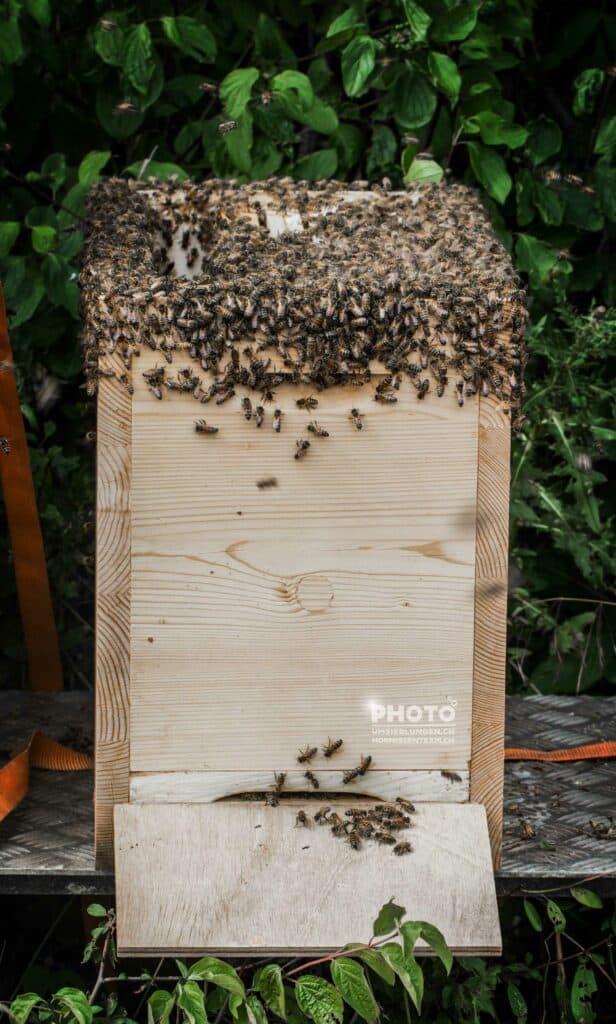 Bienen (Honigbiene)