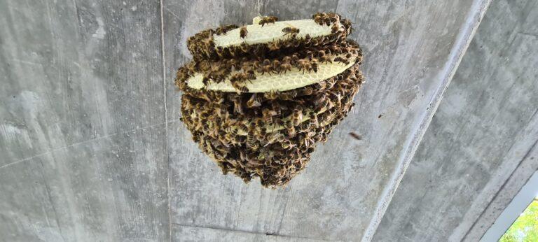 Einsatz Bienenschwarm Juni 2021 / Teil 2